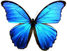 Butterfly morpho 01.png