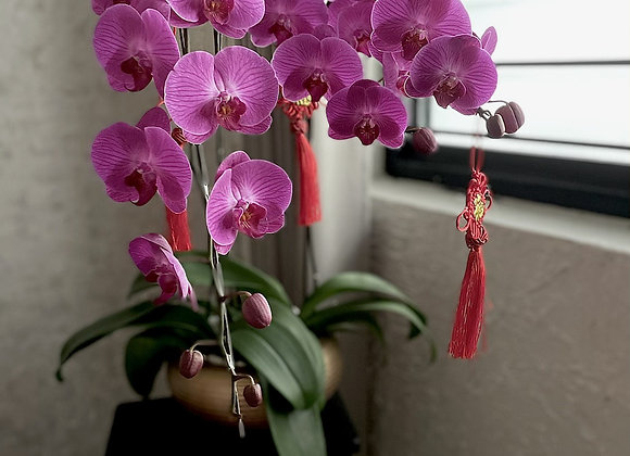 3stalks of fresh phalaenopsis orchid