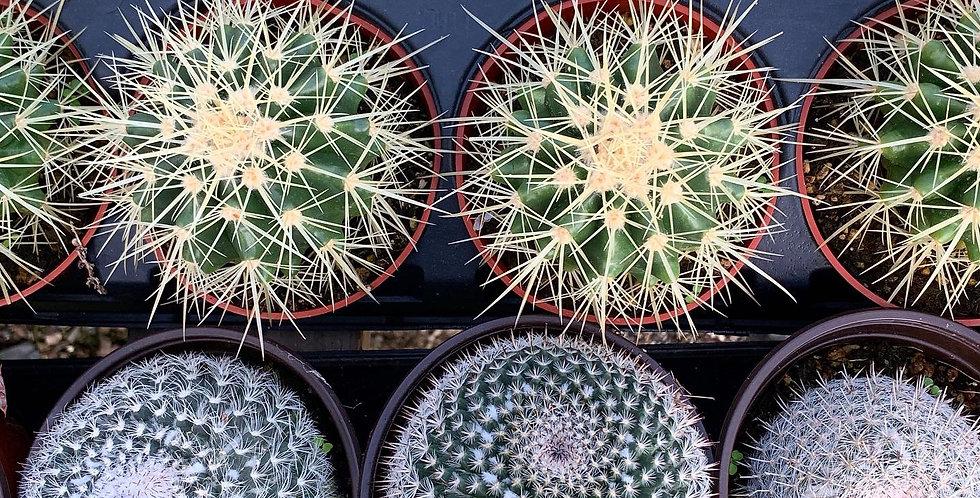 Barrel Cactus (Echinocactus)