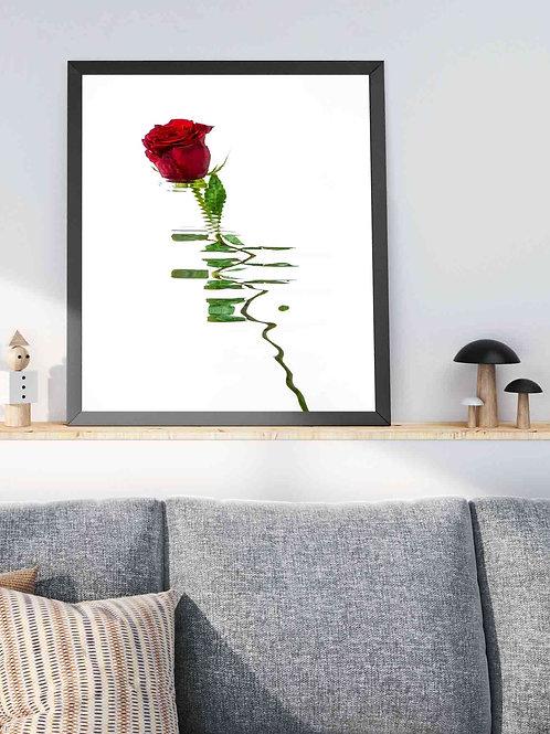 Rosa Roja IV