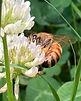 HVF Bee