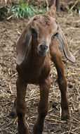 Miniature Nubian Kids for sale, KY, goats for sale
