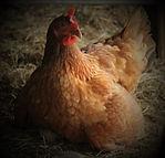 HVF Chickens
