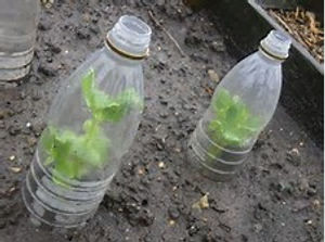 Bottle cloches used at Slopefield allotments