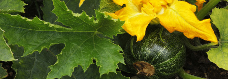 Piccolo courgette at Slopefield allotments.