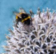 Bumblebee on allium1.jpg