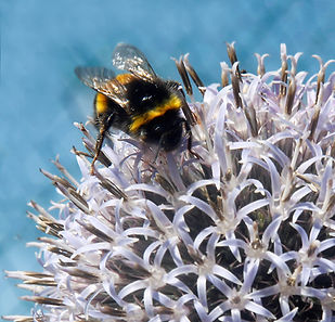 Bumblebee on allium1.jpg