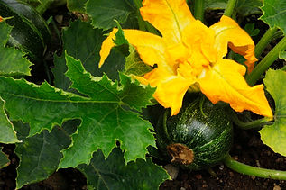 Courgette at Slopefield allotments