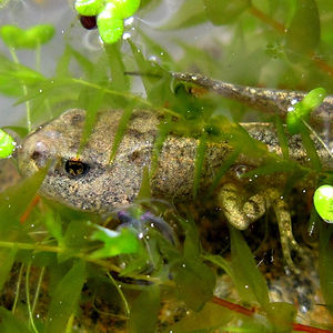 Froglet hiding in weed.