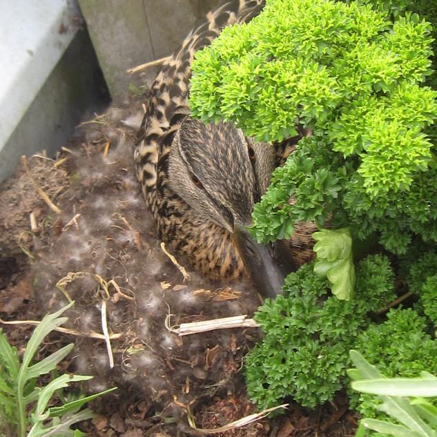 Duck on nest.jpg