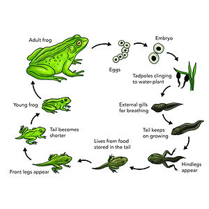 Diagram of Frog reproductive cycle