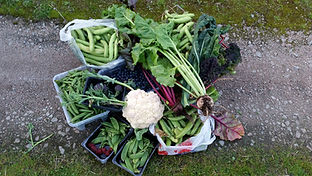 Harvest at Slopefield allotments