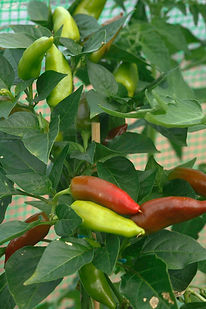 Chillies/Fruit nad vege growing guides/ Slopefield allotments