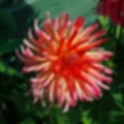 Pink cactus dahlia.jpg