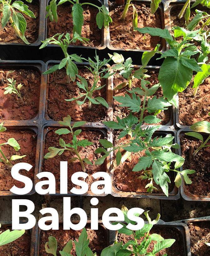 Future Salsa in the Making