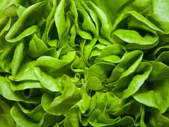 Salat direkt aus der Erde