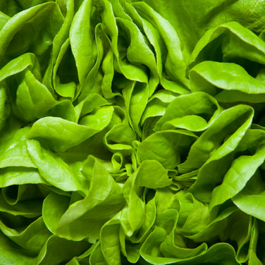 Alface, hortaliça