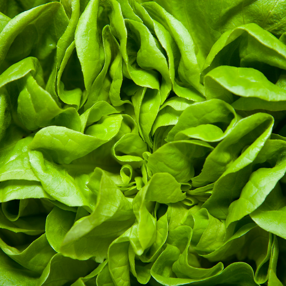 Guard Lettuce & Microgreens From Aphids