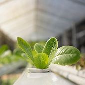 herb-organic-vegetables-is-greenhouse_35