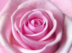 soft-light-pink-rose-johanna-hurmerinta.