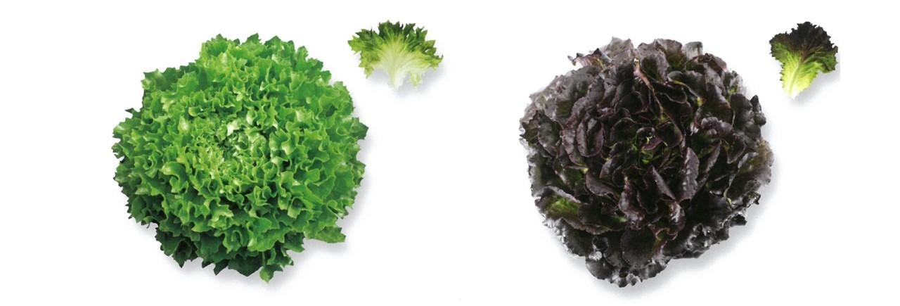 Lettuce (11)