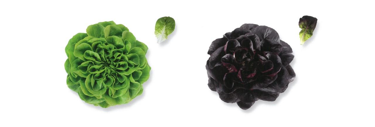 Lettuce (7)
