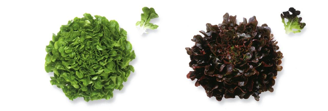 Lettuce (10)