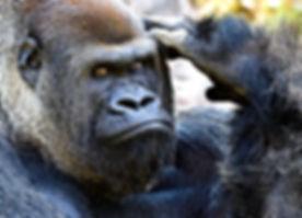 Silverback Gorilla Closeup.jpg