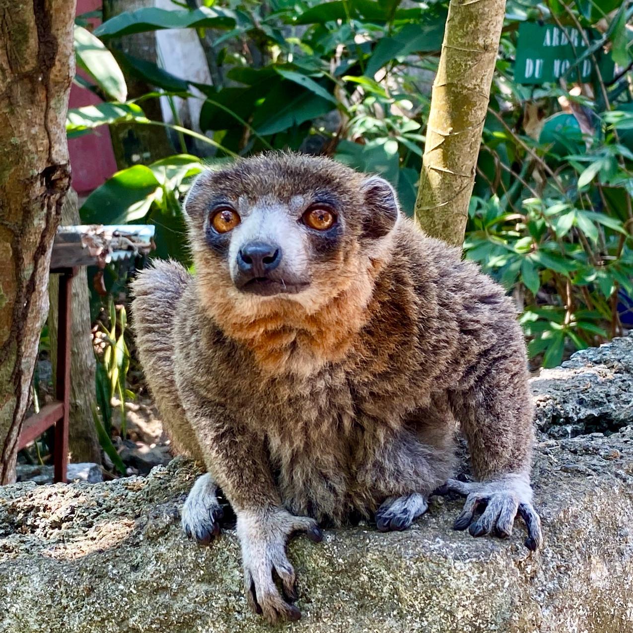 Maki Lemur