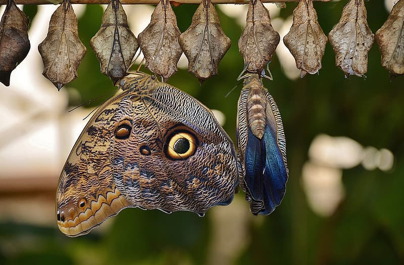 Two newly-emerged owl-eye moths hang from their cocoons.