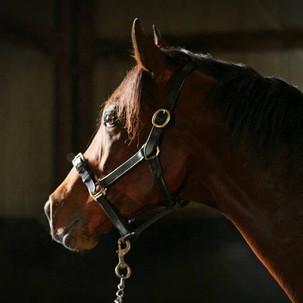 French Stallion