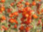 Wild Flowers, Bluff Utah