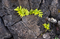 New growth in the lava field