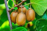 Kiwi Fruit.jpg