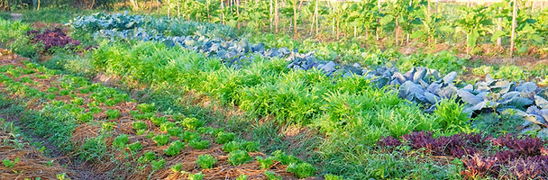 organic vegetable garden,future agricult