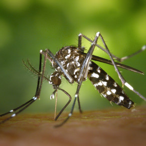 Lutte contre le moustique tigre dans l'Ain