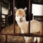 alpacas3.JPG