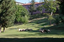 Sofoulla's sheep