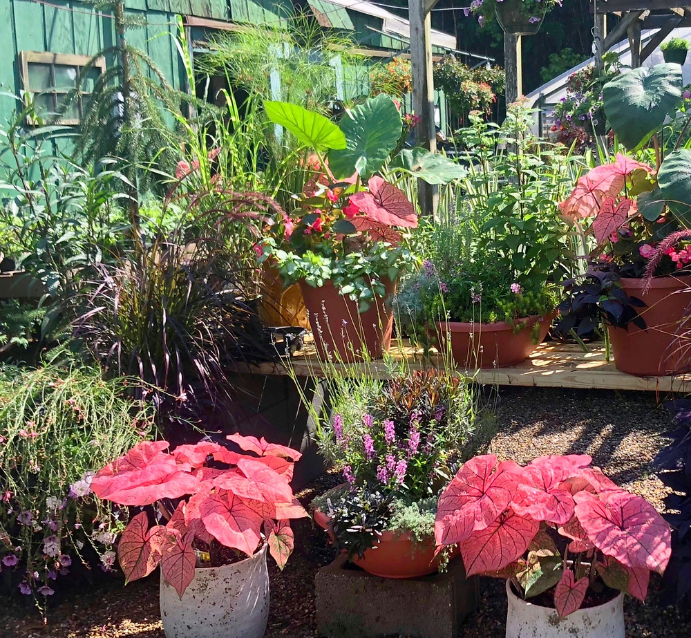 Colorful caladiums and garden containers in Hendersonville, NC
