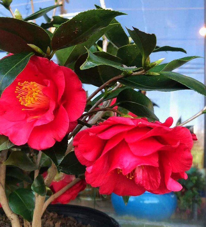 Camellias Add Great Late Winter Color!