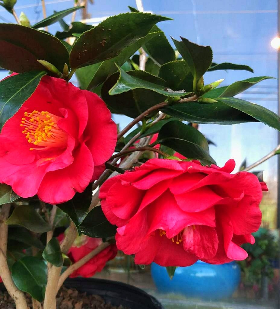 Blooming Camellia at A Growing Concern Garden Center in Hendersonville, NC