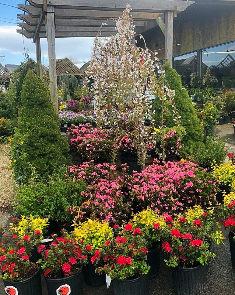 Blooming Azaleas in Hendersonville, NC