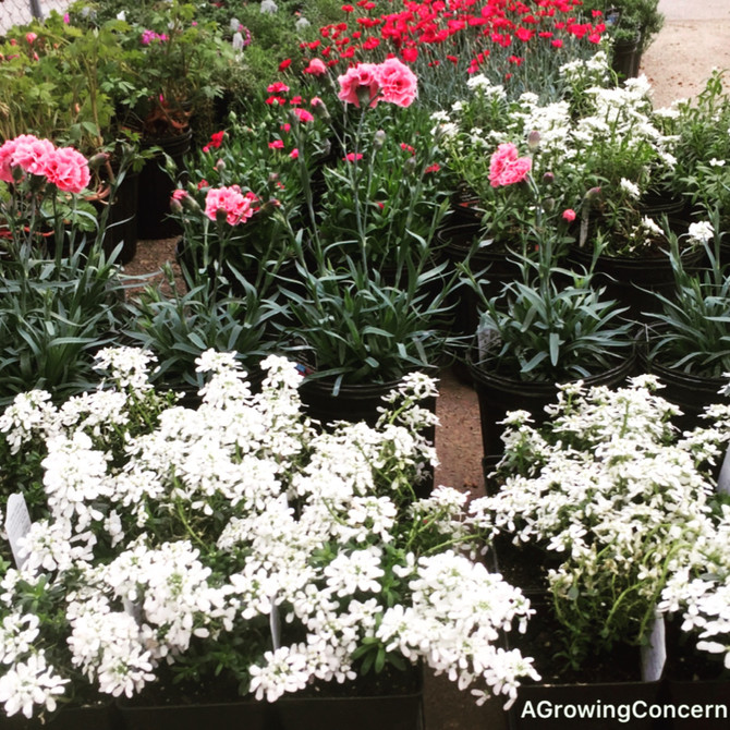 More Pre-Spring Color from Candytuft and Dianthus!