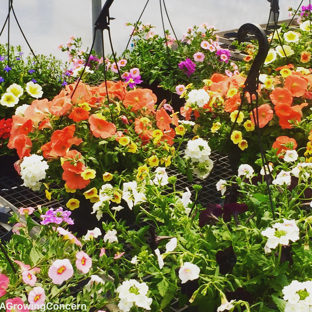 Flowering hanging baskets for Easter!