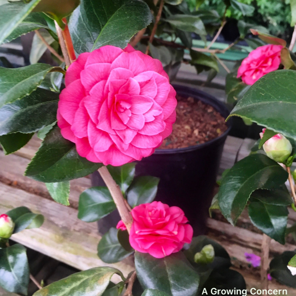 Spring blooming Camellia, an evergreen shrub, in Hendersonville, NC