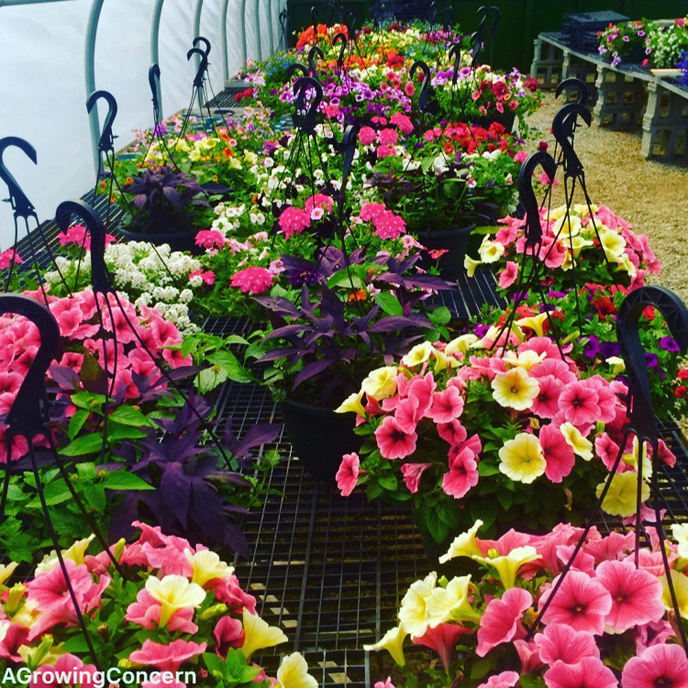 Hanging baskets provide great Easter color