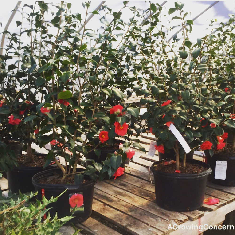 Camellias (Camellia japonica) in bloom at A Growing Concern garden center and landscaping company in Hendersonville, NC