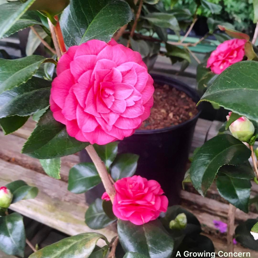 Winter blooming evergreen Camellia in Hendersonville, NC