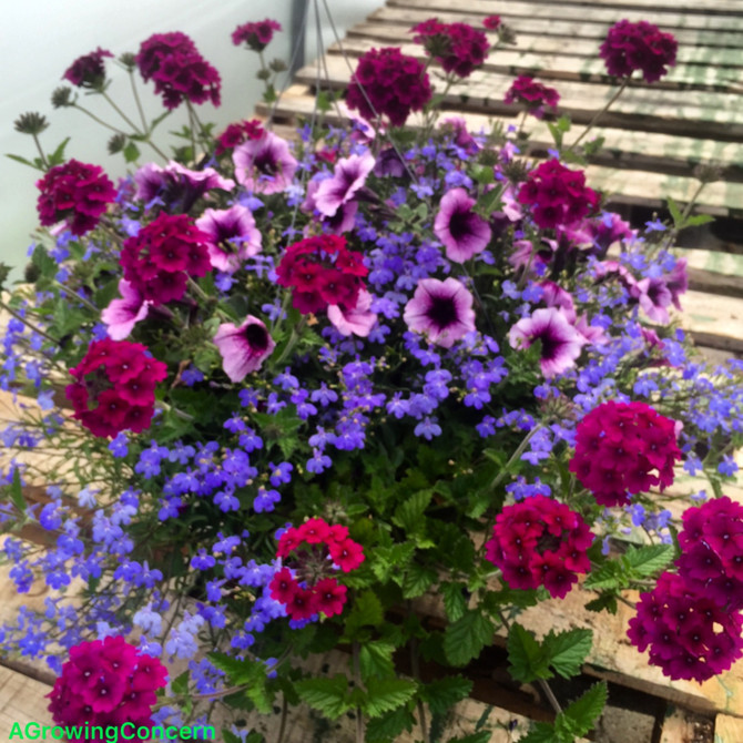 Great Spring Color from Mixed Hanging Baskets