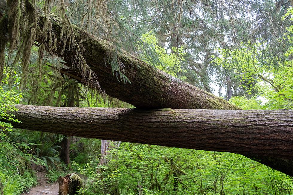 올림픽 국립공원 호레인 포레스트(Hoh Rain Forest)
